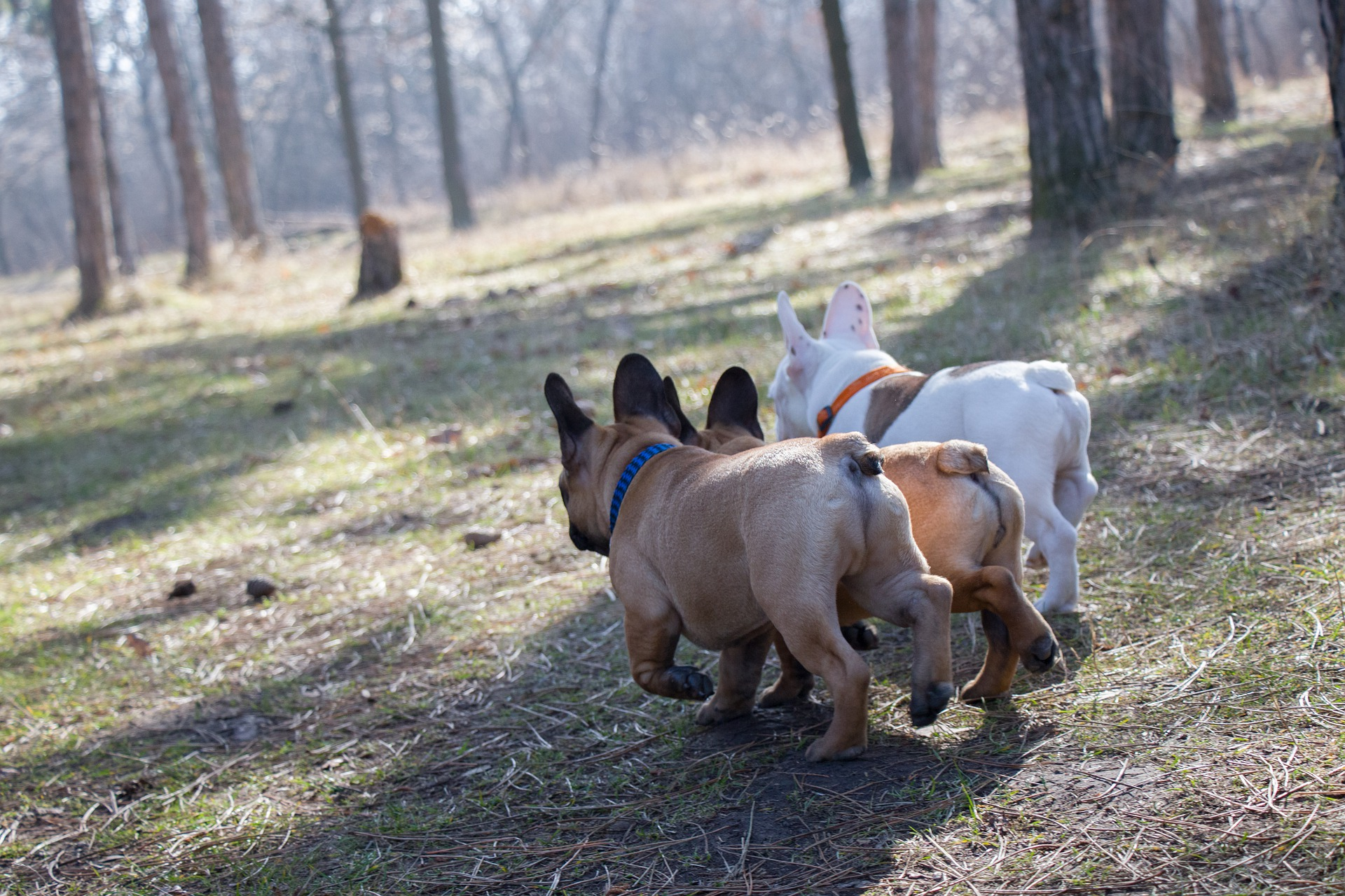 french bulldog puppies, frenchie puppies playing