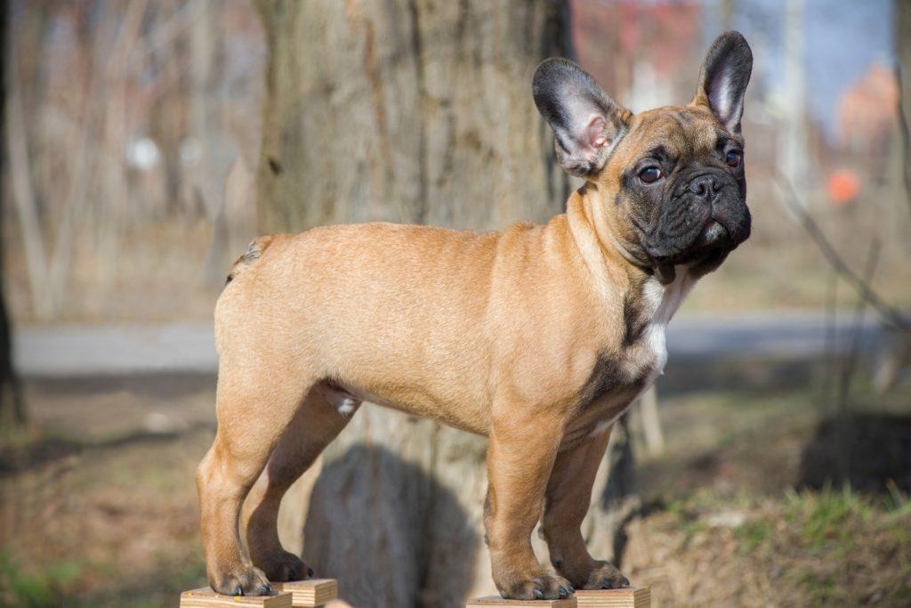 french bulldog breed standard