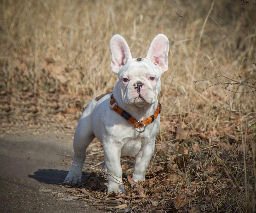 white french bulldog - white frenchie